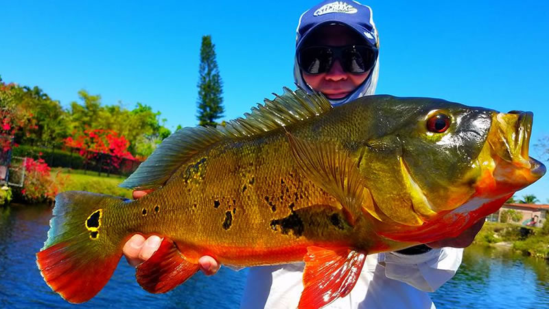 Peacock Bass Fishing in the USA for Peacock Bass, Florida